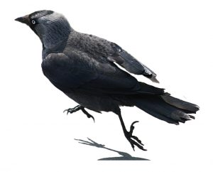 wrona